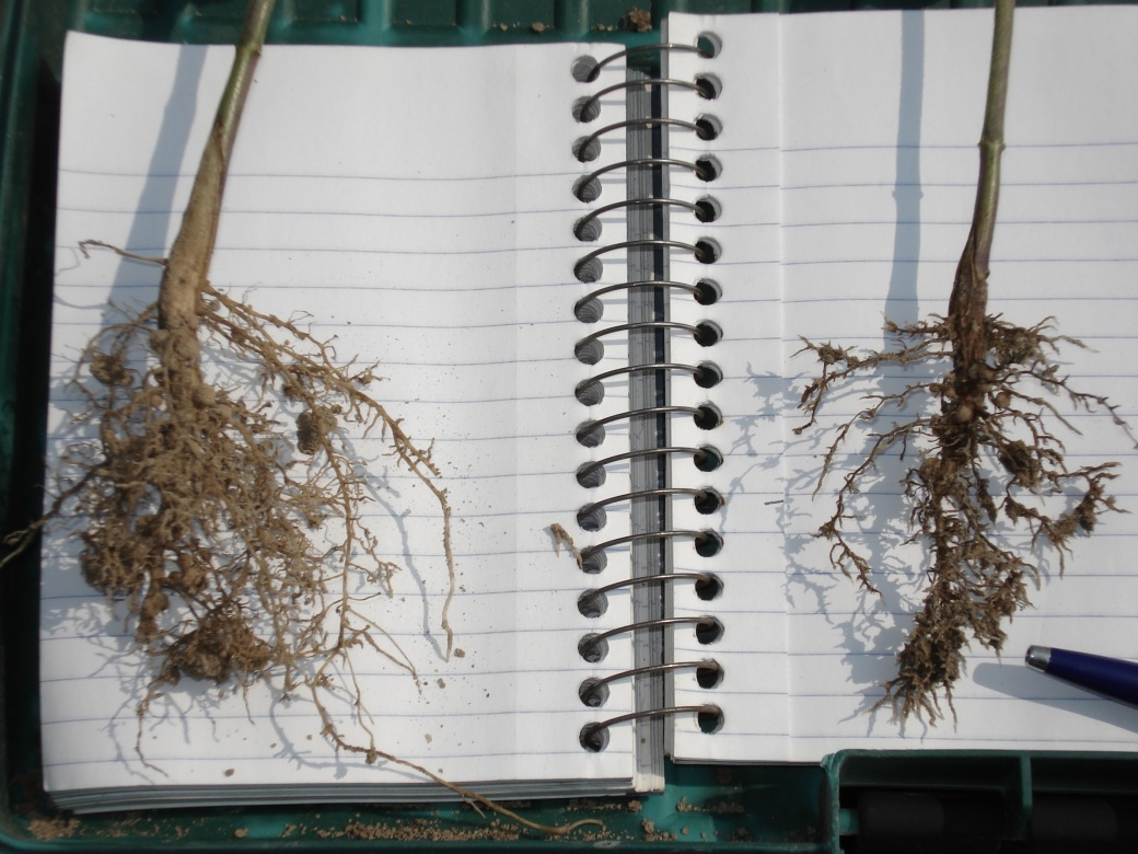 soybeans, nodules, roots